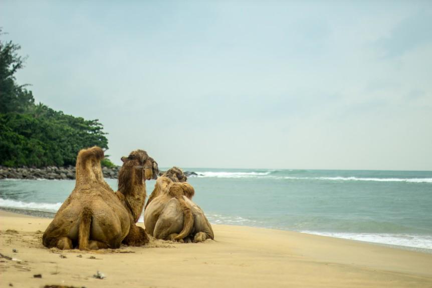 Hainan Camels